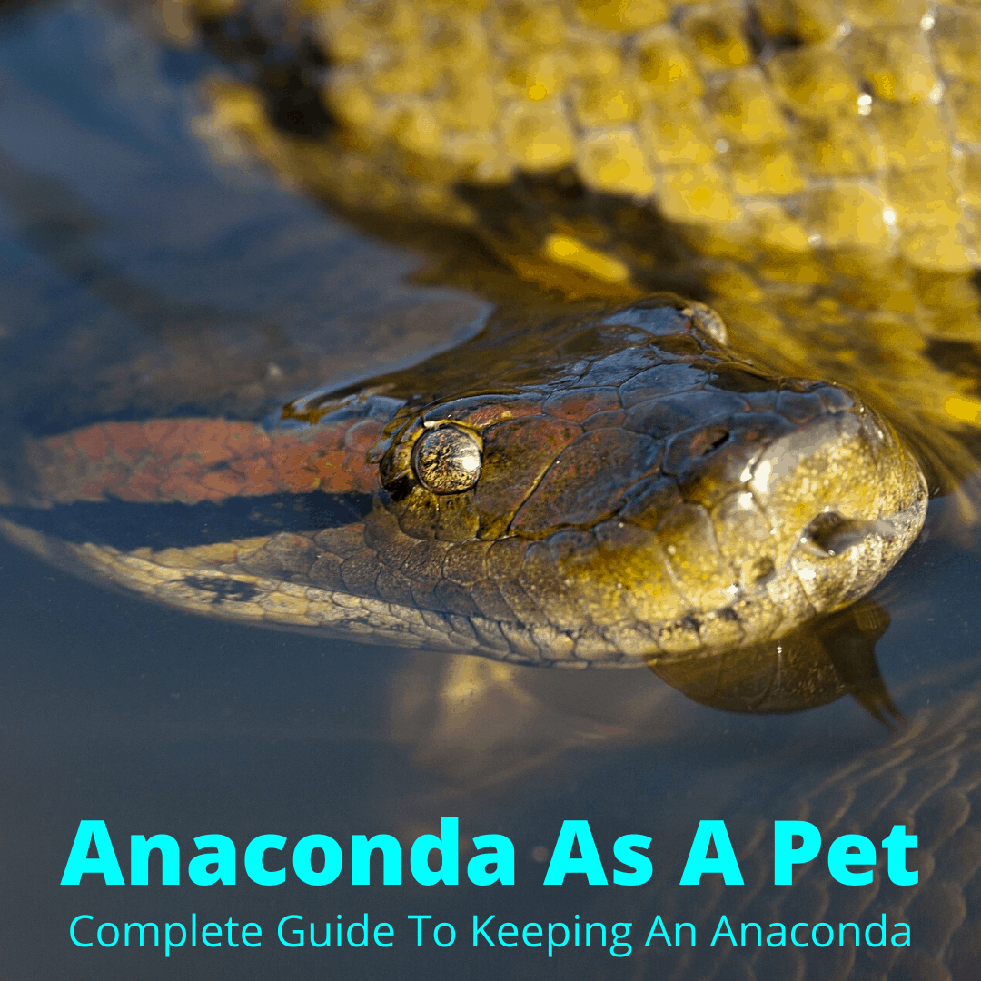 Anaconda as a pet