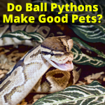 Do Ball Pythons Make Good Pets