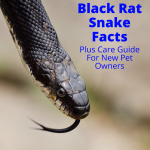 Black rat snake facts
