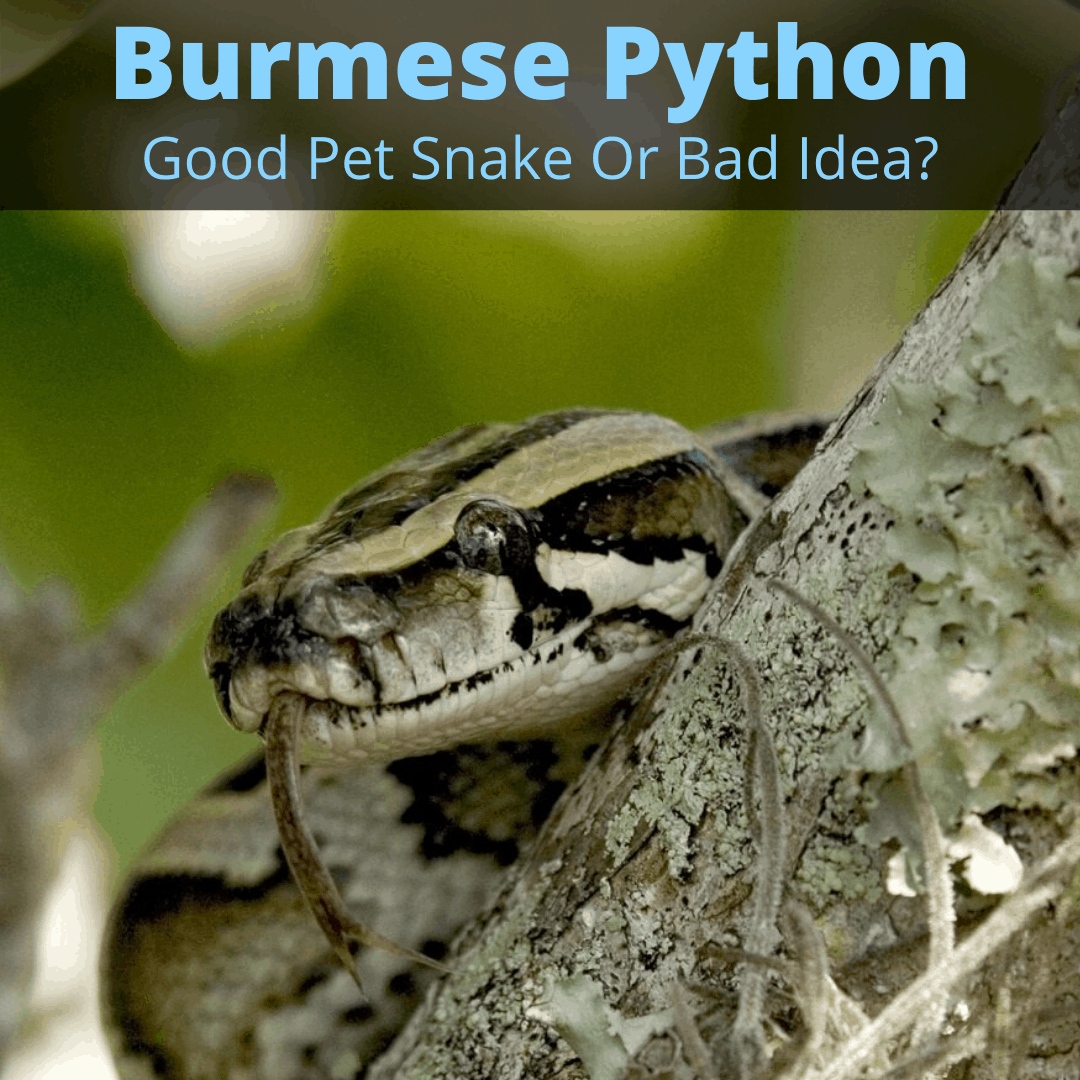 Burmese python pet snake
