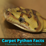 Carpet python facts