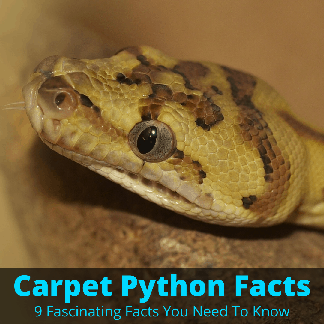 Carpet python facts