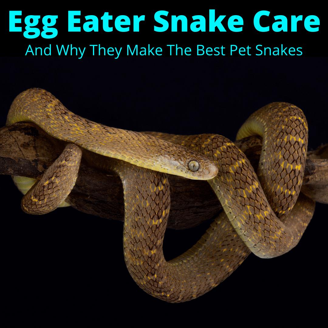 Egg eater snake