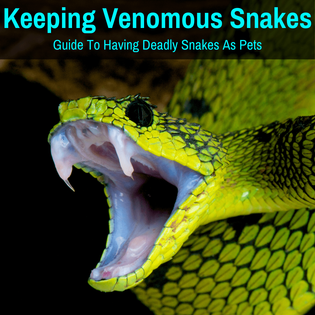 Keeping a venomous snake