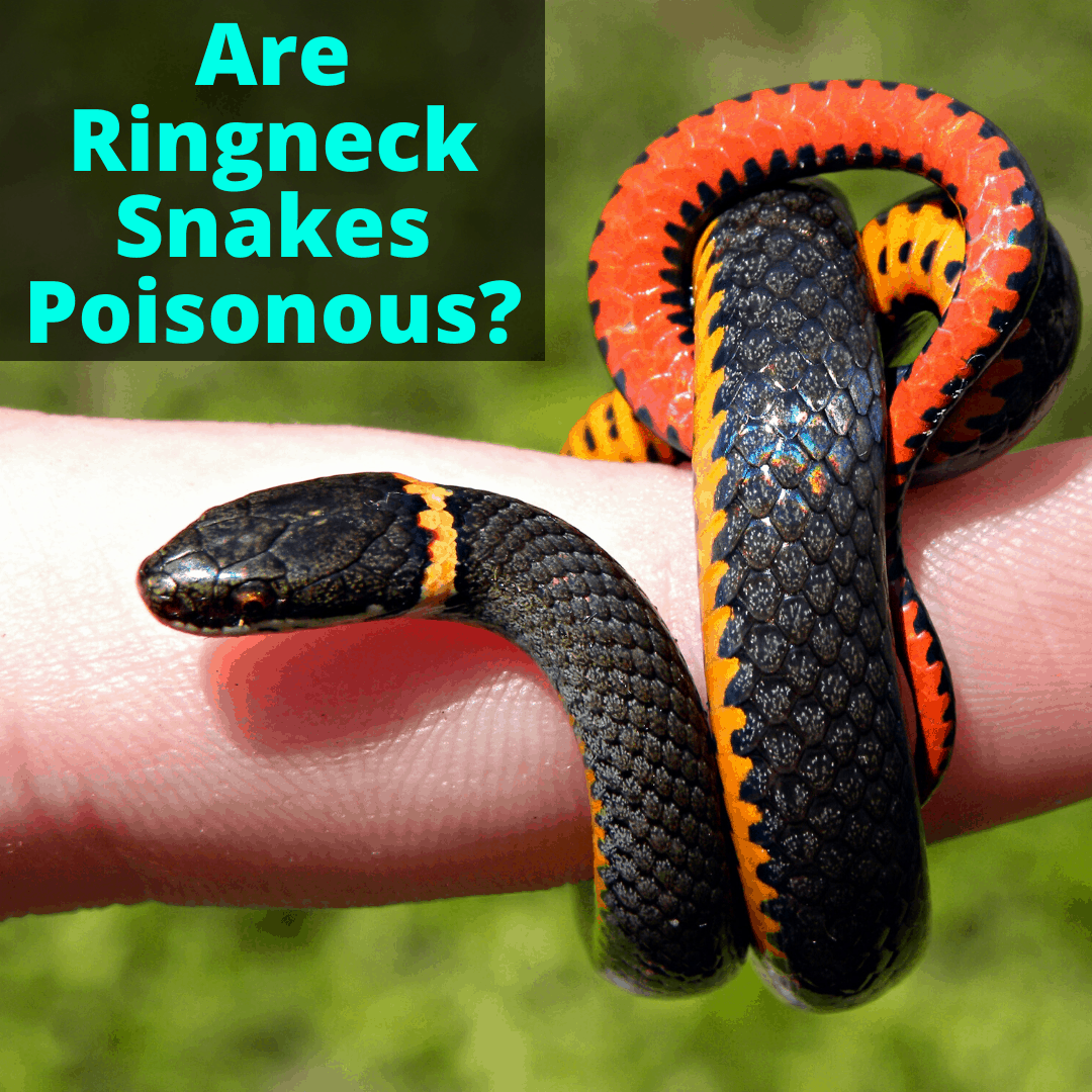 Are Ringneck Snakes Poisonous