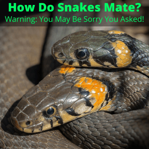 How do snakes mate