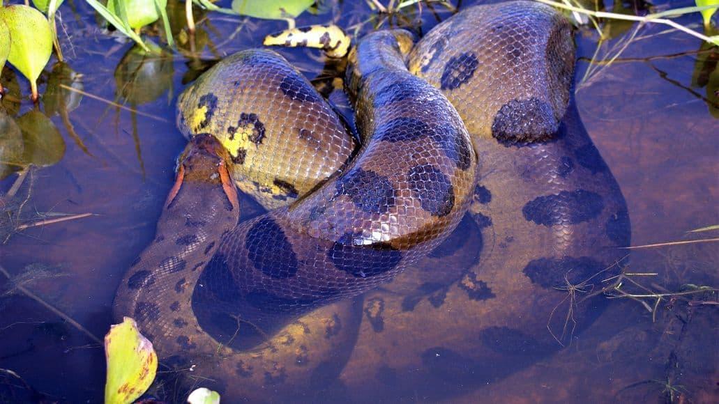 Anaconda after swallowing whole prey