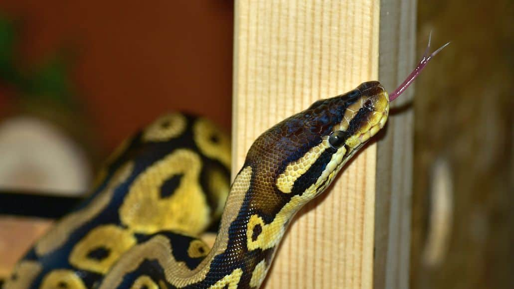 Ball python in wood enclosure