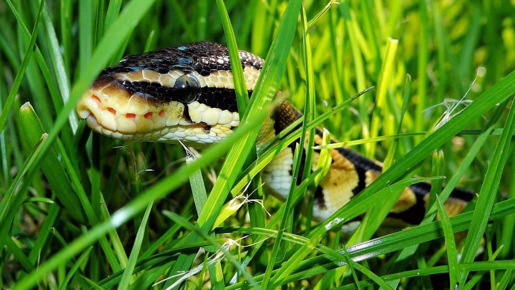 Ball python in Hawaii