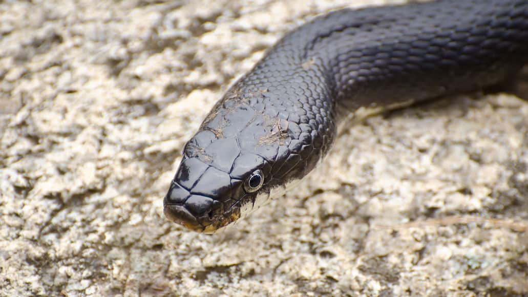 Black rat snake in natural habitat