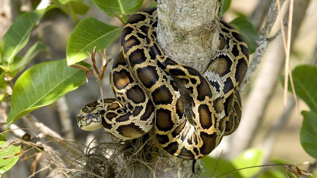Patterns and colors on Burmese python