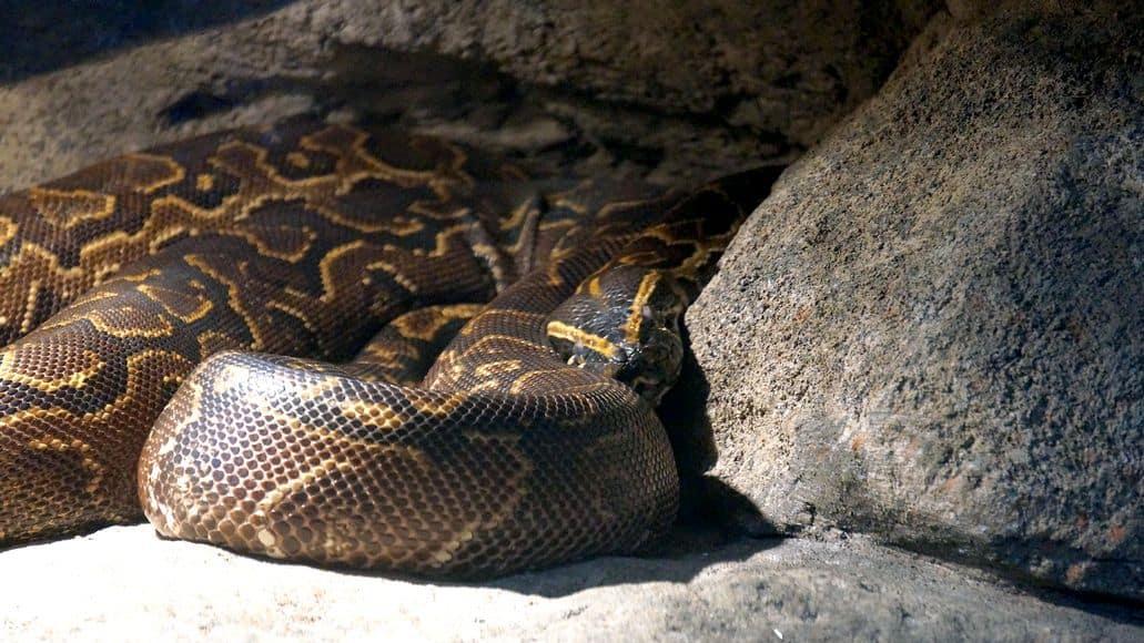 Constrictor burmese python