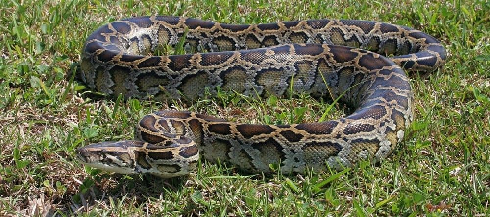 Large szie burmese python