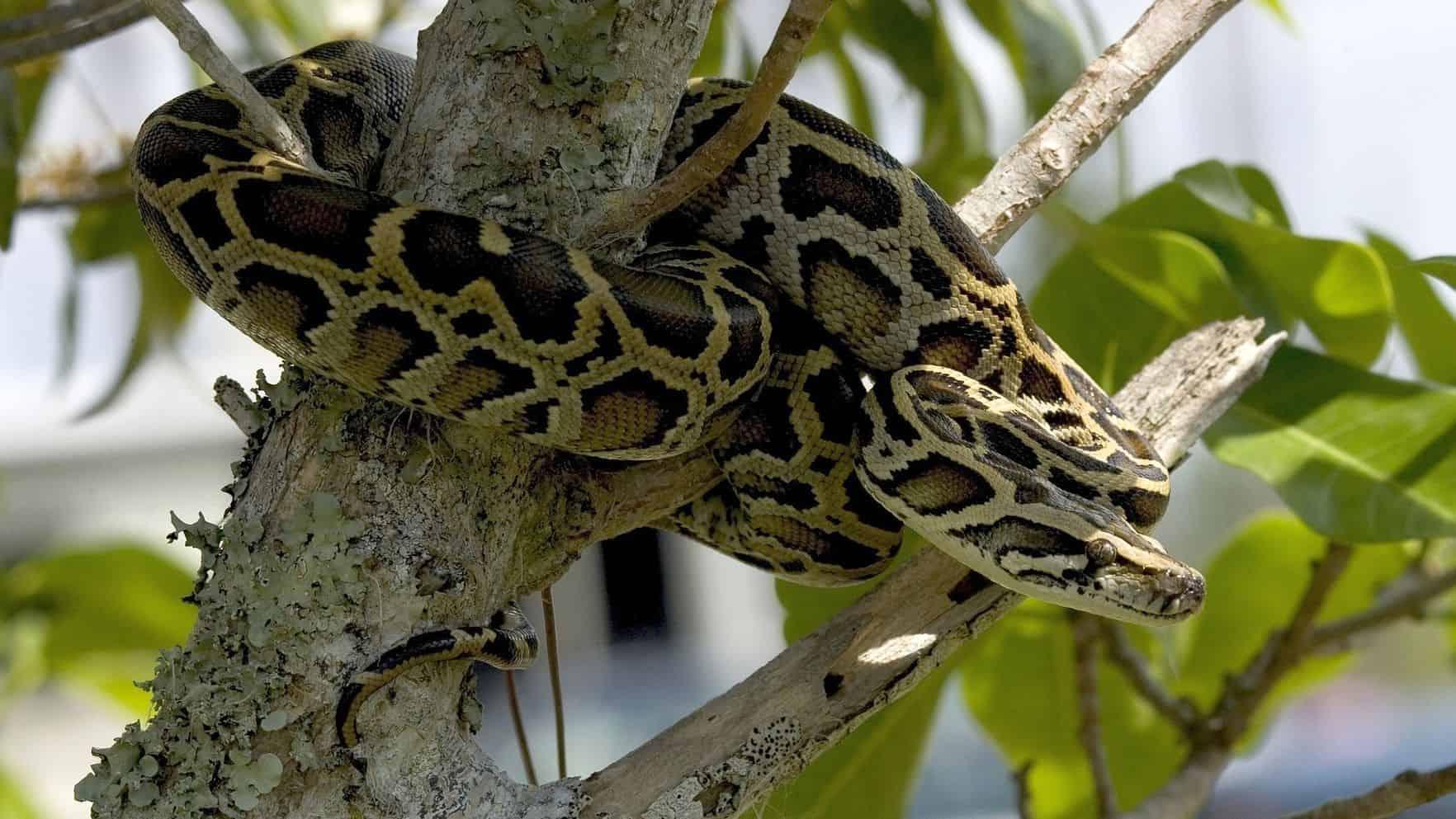 Tree-climbing Burmese python
