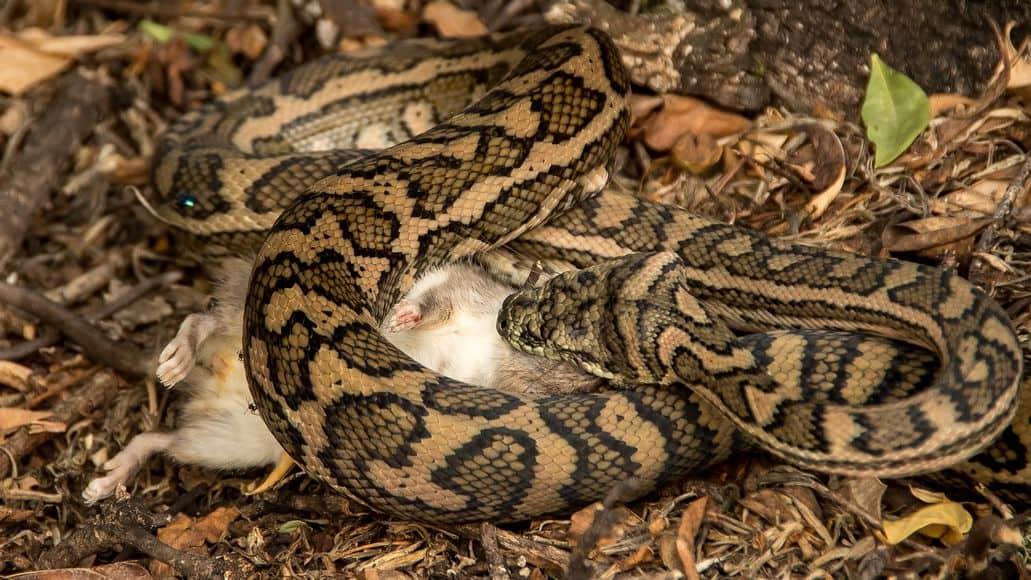 Carpet python eating rat