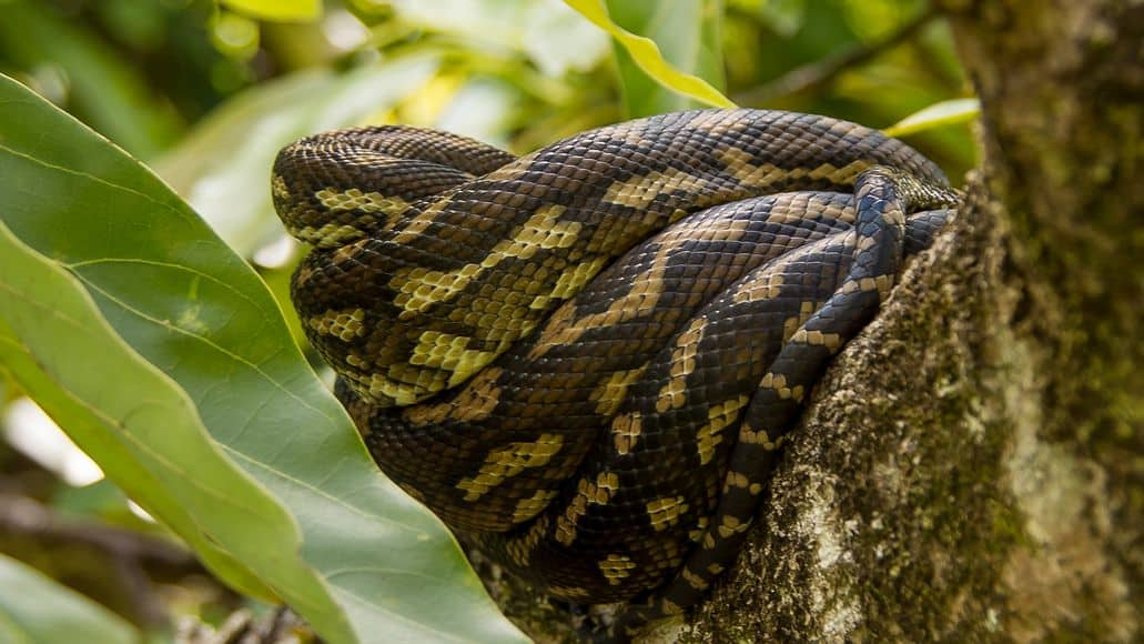 Carpet python in a tree
