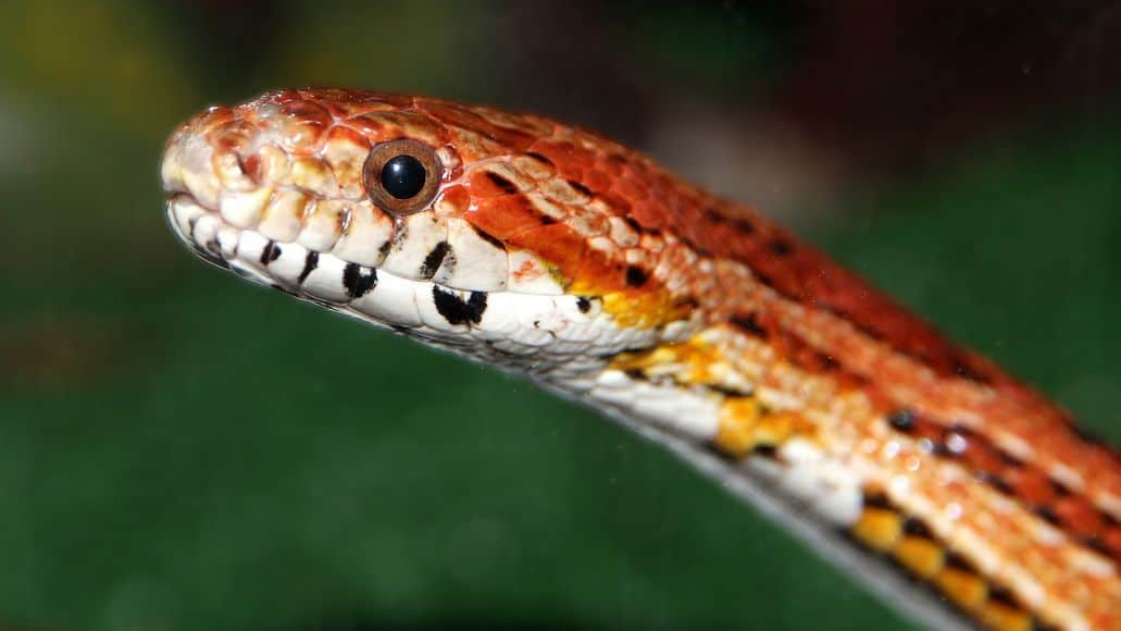 Corn snake head up close