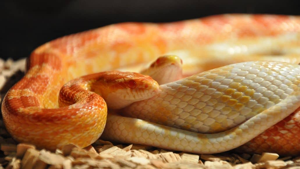 Corn snakes on warm bedding