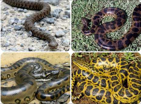 facts about anaconda snakes