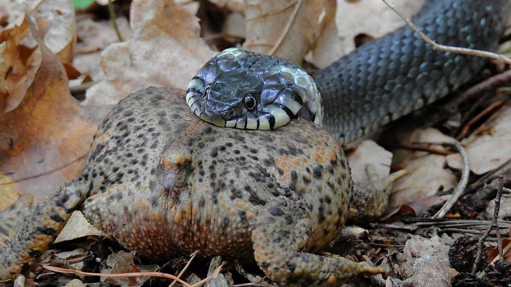 Feeding grass snake