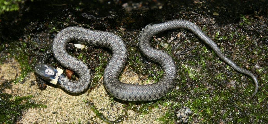 Grass snake on moss