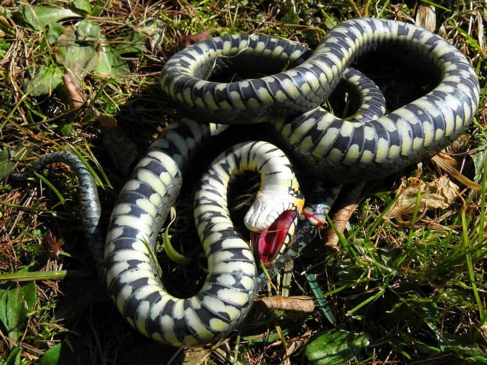 Grass snake playing dead
