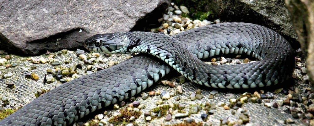 Gray grass snake