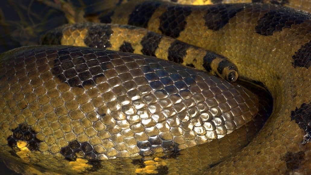 Large green anaconda