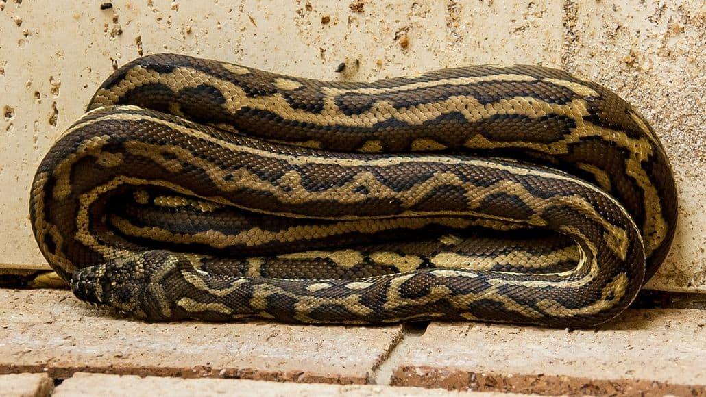 Long carpet python
