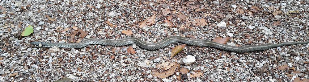 Long grass snake
