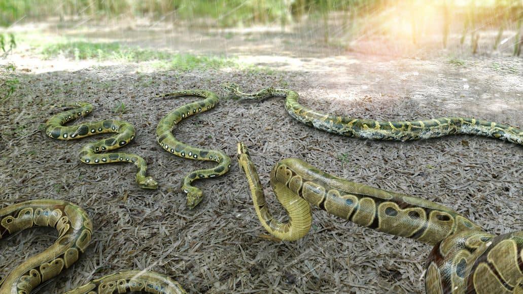 Many Burmese pythons