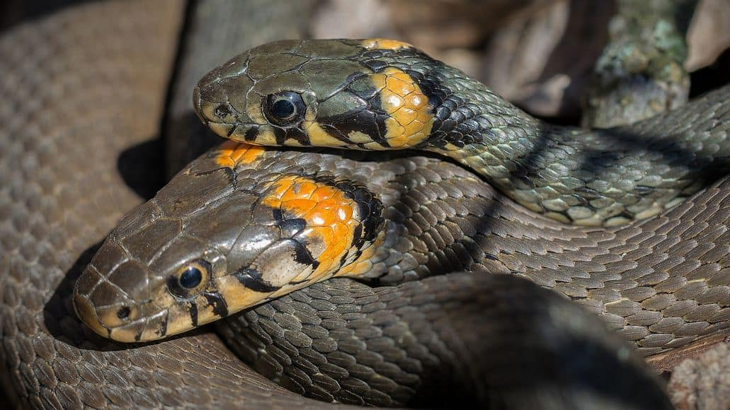 Mating grass snakes