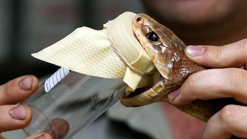 Milking venom from a snake