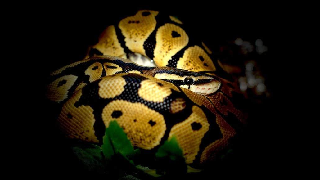 coiling ball python