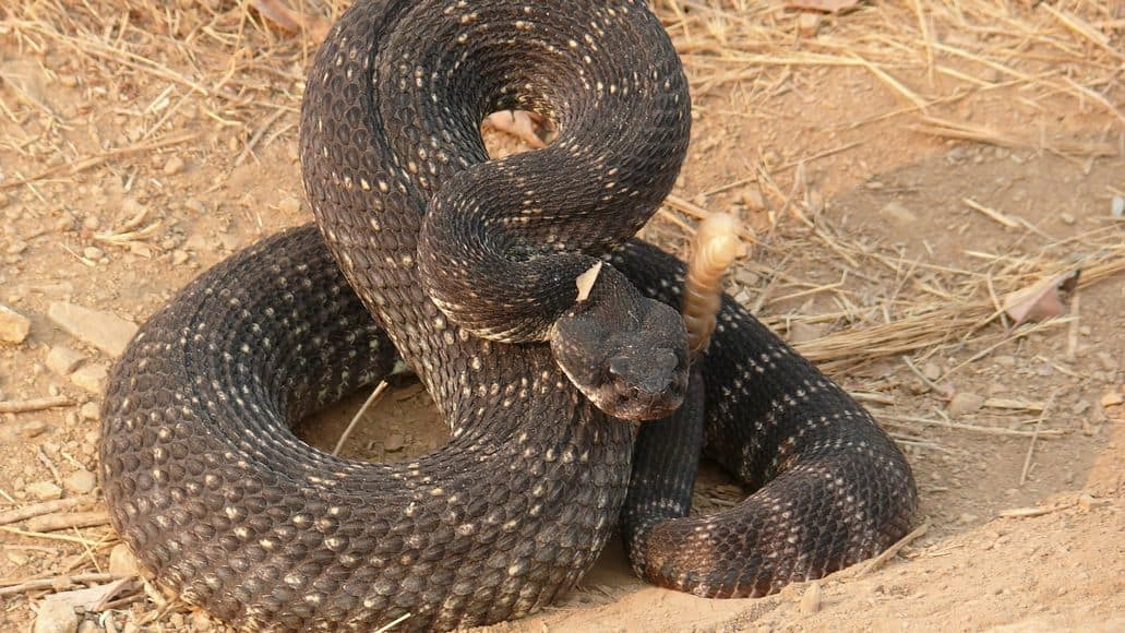 A rattlesnake in California