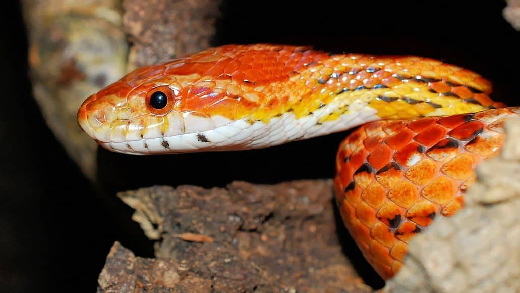 Regular corn snake