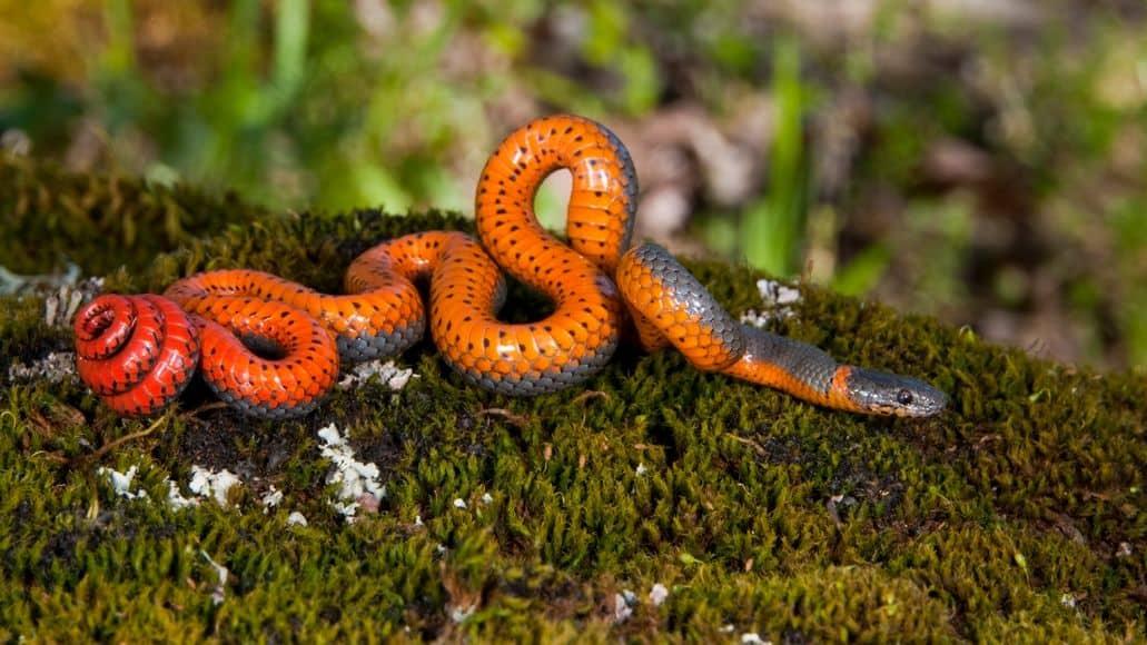 A Ringneck Snake