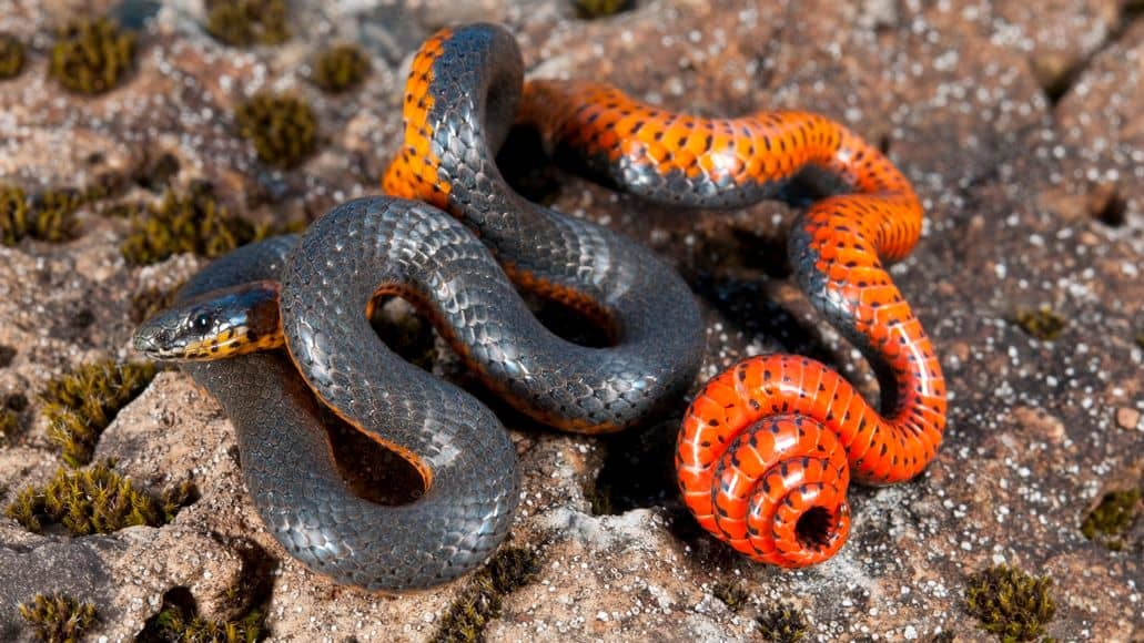 Venomous Ringnecked snake in its habitat