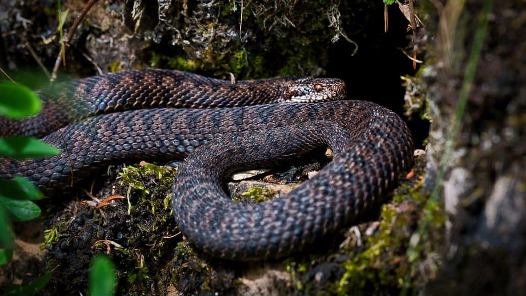Snake entering cave for hibernation