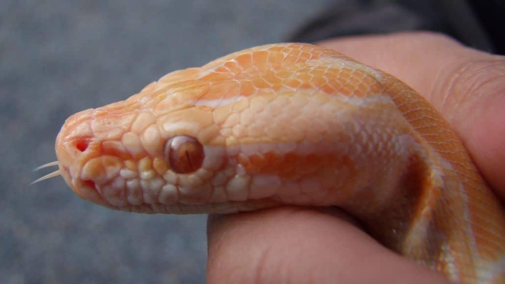 Handling a snow corn snake