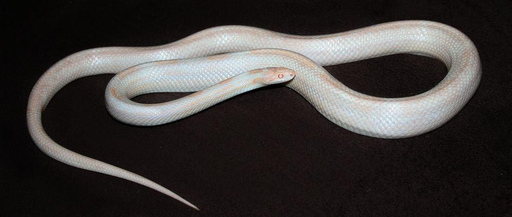 White corn snake
