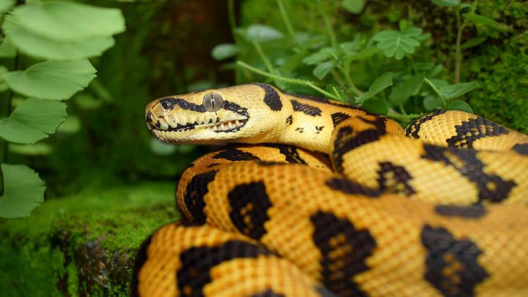 Yellow carpet python
