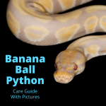 Banana Ball Python (Snake Care Guide With Pictures)