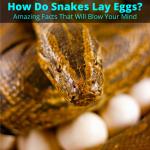 How do snakes lay eggs