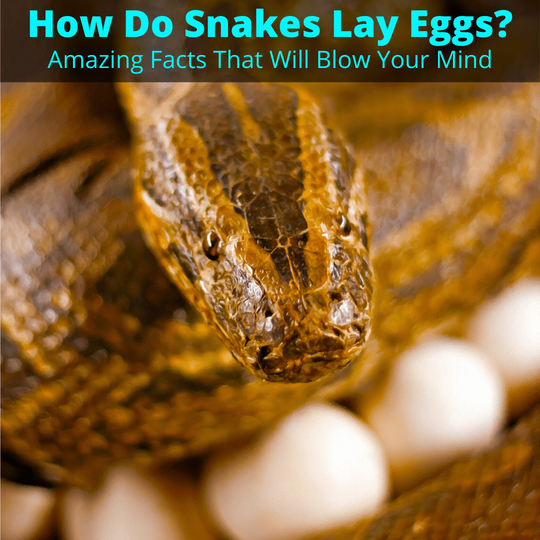 How do snakes lay eggs