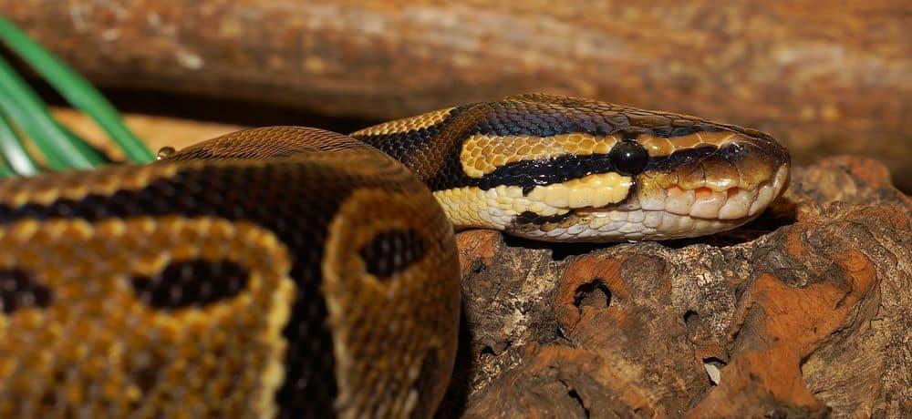 Ball python after mating
