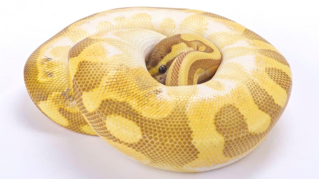 Banana snake curled up in ball