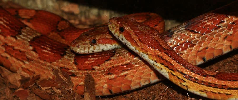 two corn snakes together