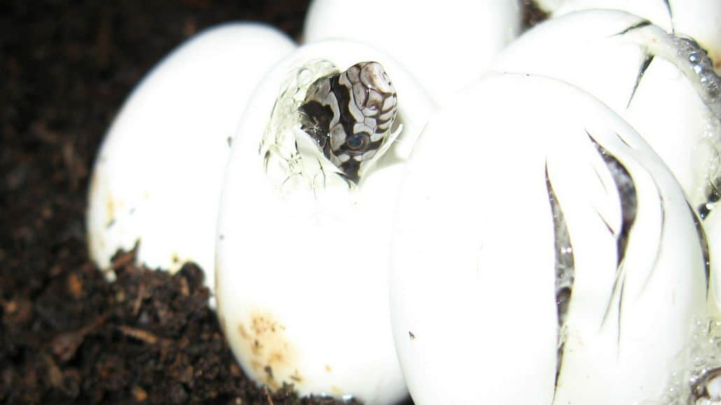 Snake hatching from egg