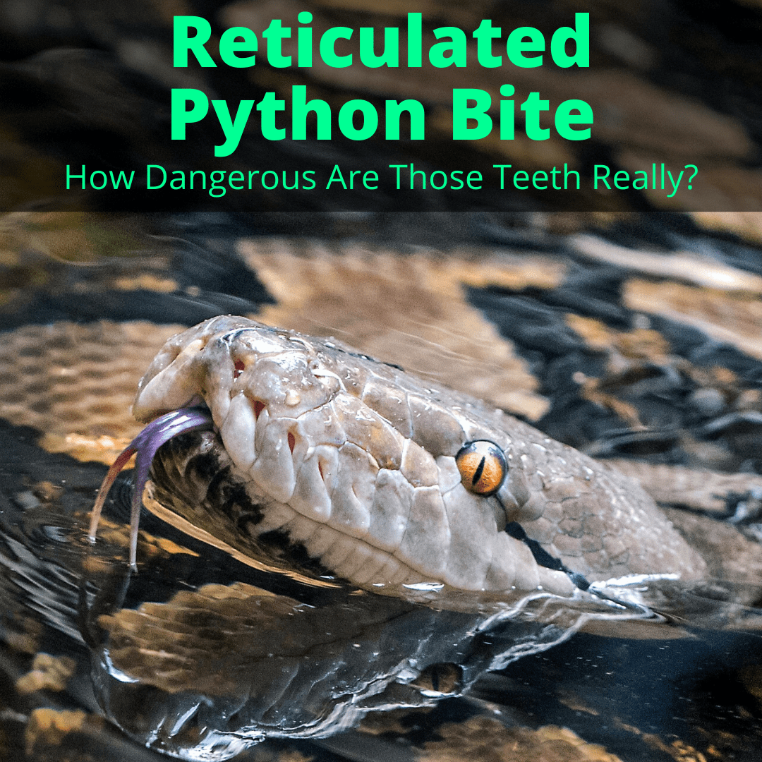 Reticulated Python Bite